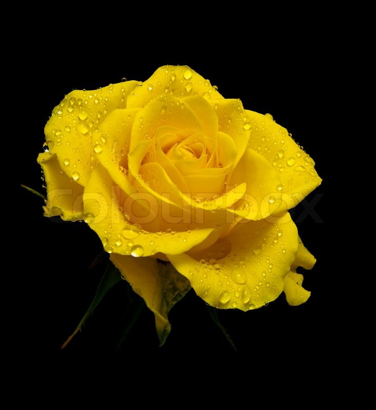 A beautiful yellow rose in drops of dew on a black - Yellow rose images hd ...