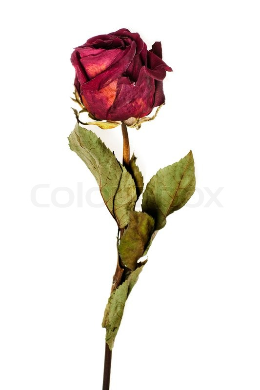 Faded Rose Isolated On White Background Stock Photo