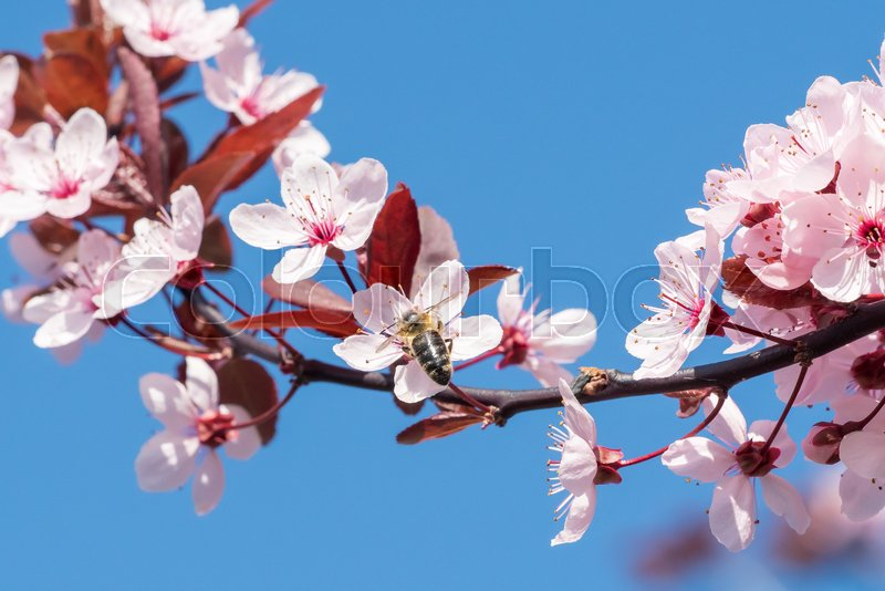 Bee on a pink cherry blossoms. Spring floral background on a blue sky. Cherry flowers blossoming in the springtime, stock photo