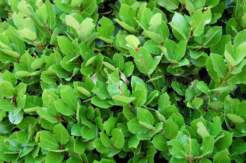 Laurel leaves, hedge of green laurel bushes. Nature texture, vegetal background, stock photo