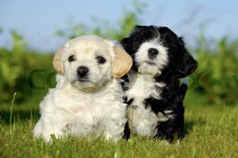 A black and a white puppy is posing in the sun stock photo colourbox