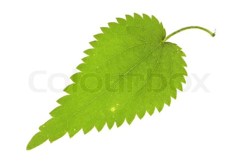 how to use nettle leaf