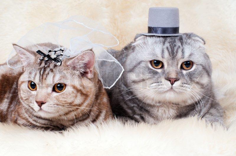 beautiful adult cat wedding couple breed scottish