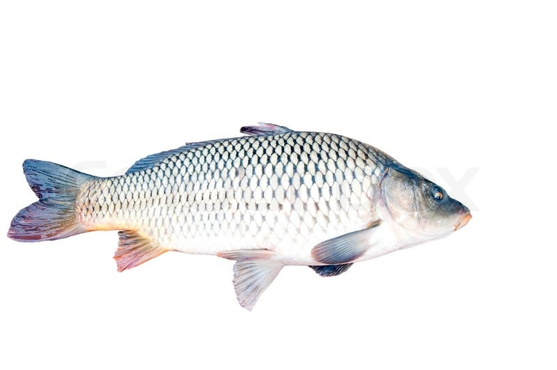 closeup of a fish isolated on white stock photo colourbox