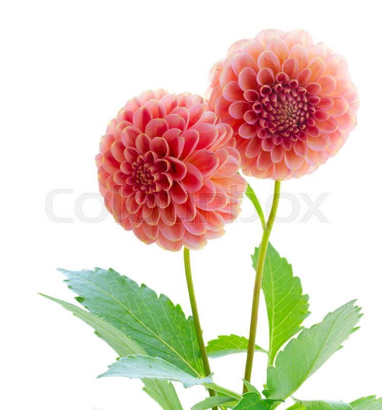 Dahlia pink flowers isolated on white background | Stock Photo ...