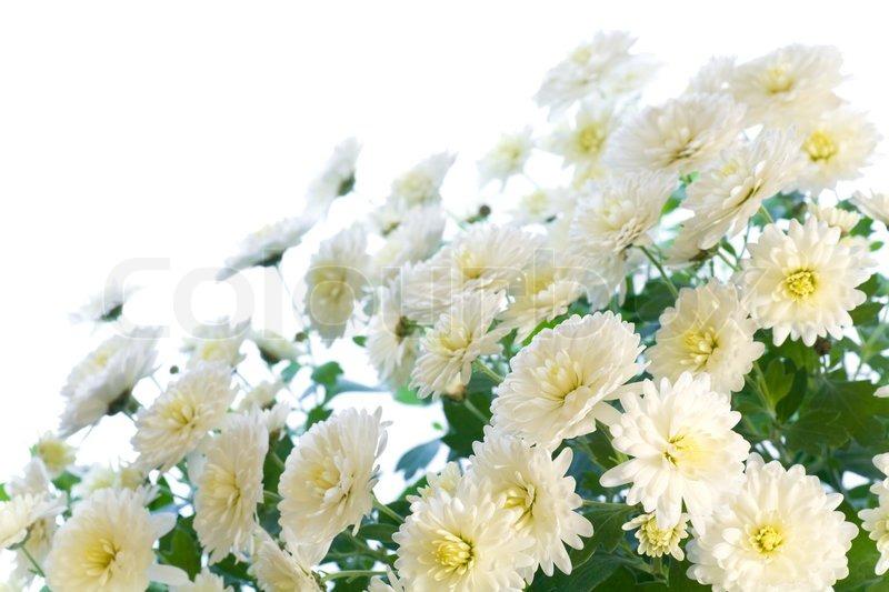 Beautiful white chrysanthemum flower autumn vivid background beautiful white chrysanthemum flower autumn vivid background isolated on white stock photo colourbox mightylinksfo