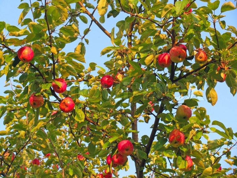 Red apples on apple tree branches | Stock Photo | Colourbox