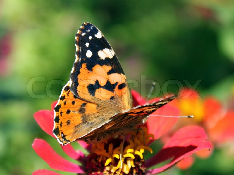 schmetterling painted lady auf blume zinnie stockfoto colourbox. Black Bedroom Furniture Sets. Home Design Ideas