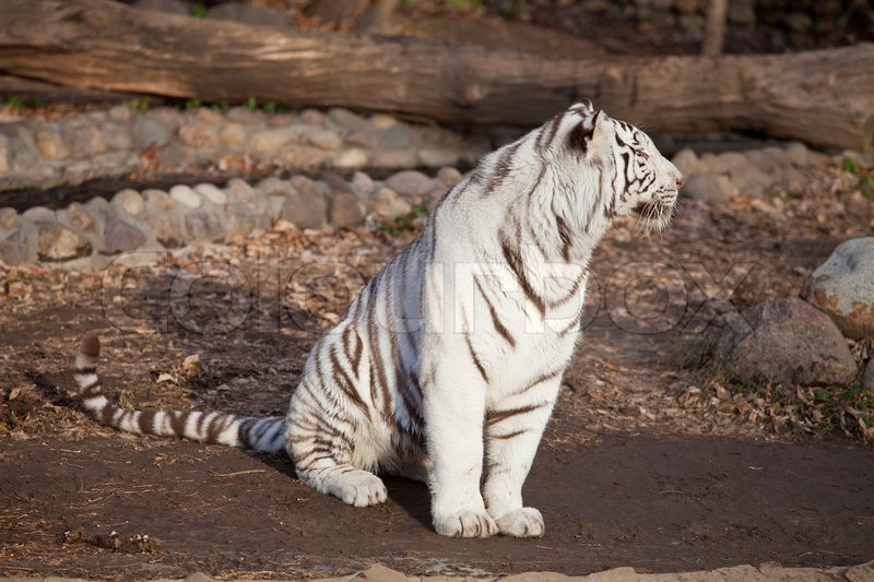 Stock image of  Closeup of a sitting white tiger White Tigers With Green Eyes