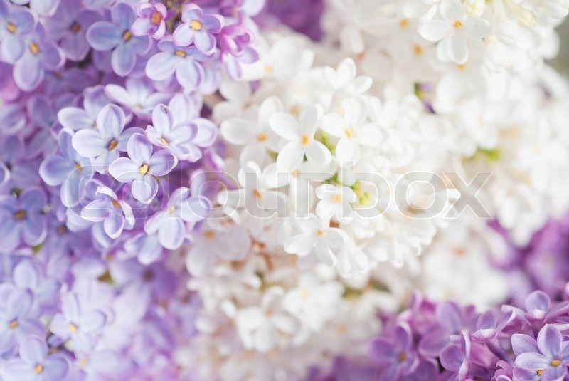 close up beautiful lilac background with light violet and