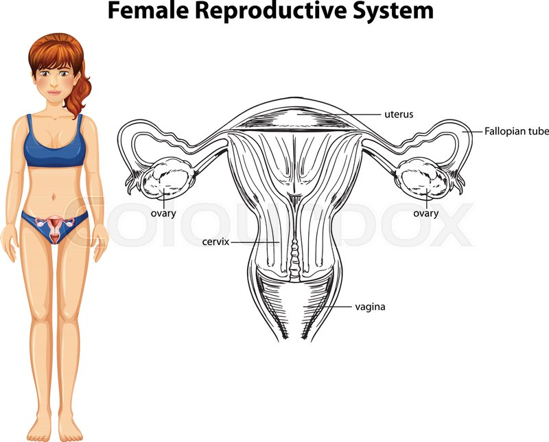 Human Anatomy Of Female Reproductive System Illustration Stock