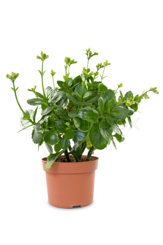 House plant in a pot isolated on white background stock photo colourbox - White flowering house plants ...