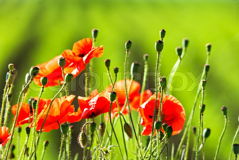 Wonderful poppy field in late may red poppies flowers blossom on wonderful poppy field in late may red poppies flowers blossom on wild field natural drugs opium poppy botanical plant ecology stock photo colourbox mightylinksfo
