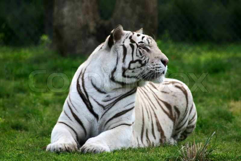 essay on the white tiger The white tiger lesson plans include daily lessons, fun activities, essay topics, test/quiz questions, and more everything you need to teach the white tiger.