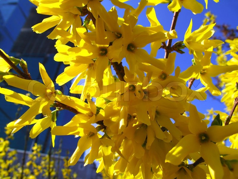 beautiful yellow flowers of forsythia bush close up  stock photo, Beautiful flower