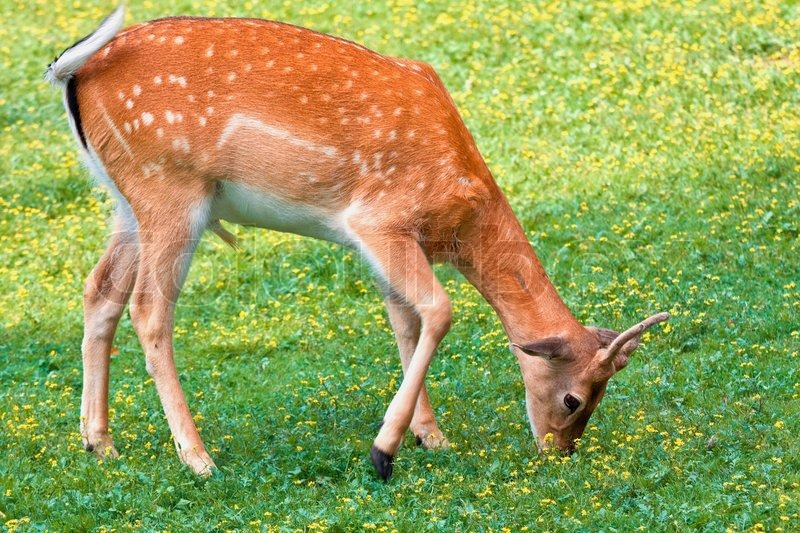 Deer in on a spot of grass in the forest - telephoto ...