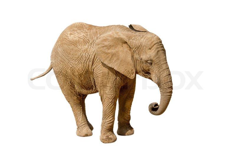 elephant isolated on white background stock photo