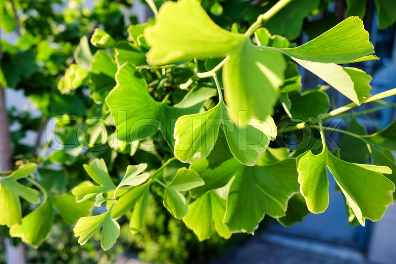 Editorial image of 'Ginkgo biloba tree'