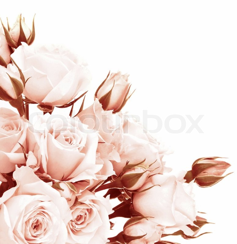 Fresh pink roses border beautiful isolated on white flowers corner fresh pink roses border beautiful isolated on white flowers corner composition holiday rose gift love concept stock photo colourbox mightylinksfo