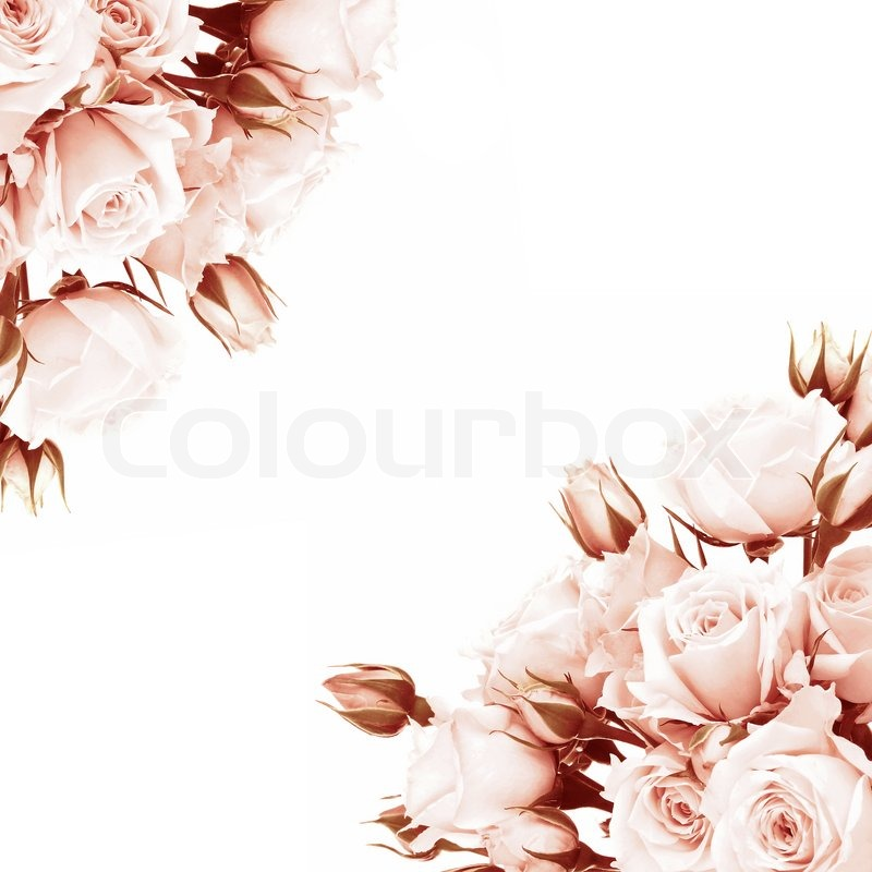Fresh pink roses frame, beautiful isolated on white flowers, corner composition, holiday rose gift, love concept, stock photo