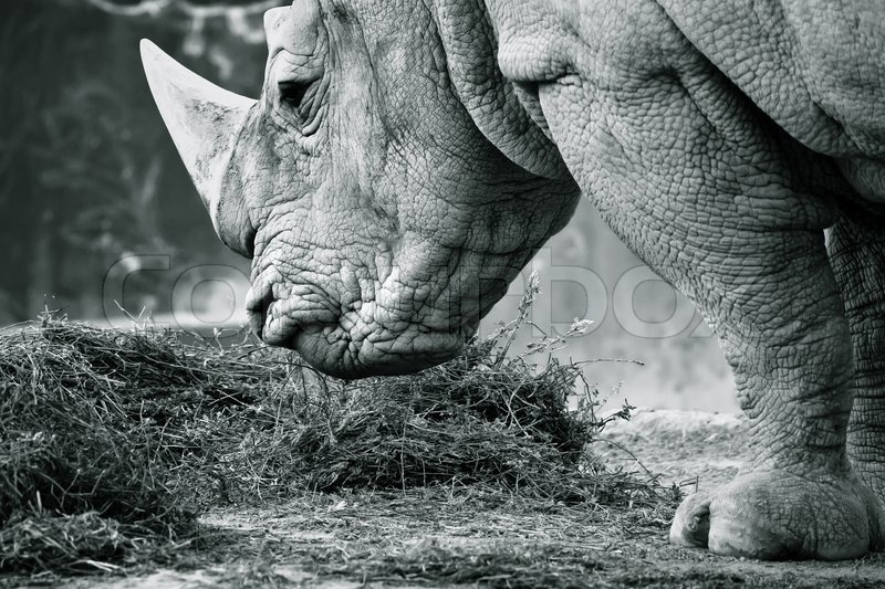 Stock image of 'White rhino in black and white eating'