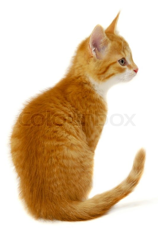 A Sweet Red Cat Kitten Is Sitting On A White Background