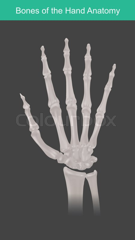 Anatomy Of Human Hand And Fingers Stock Vector Colourbox