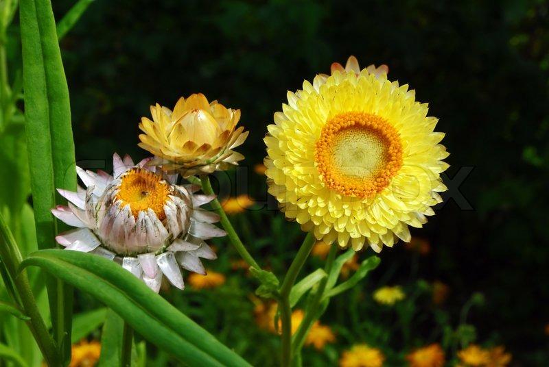 Strohblumen Trocknen schöne gelbe strohblumen blüten zum trocknen geeignet stockfoto