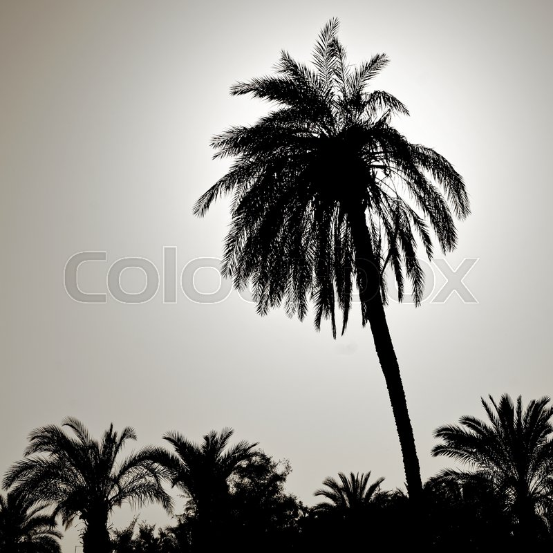 Silhouette of a large palm tree in the back light, photographed on the beach of Aqaba, Jordan, middle east, stock photo