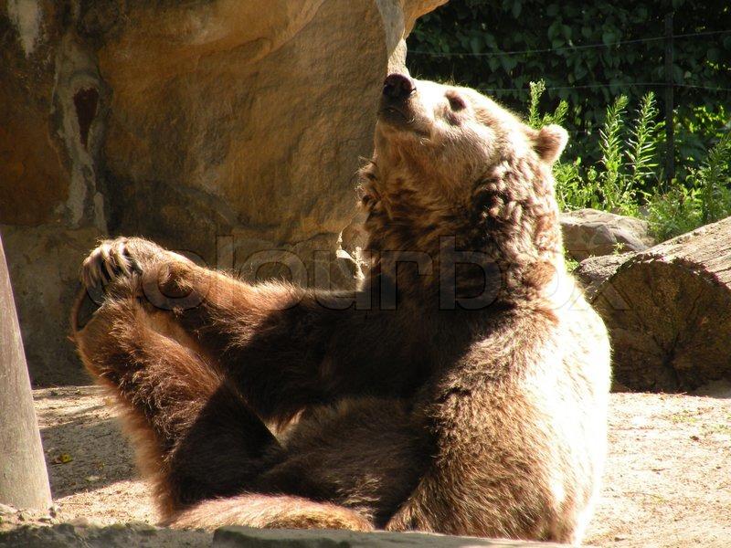 Bär sitzt lustig, hält seinen rechten Fuß | Stockfoto | Colourbox