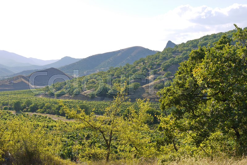Rows of a vine in a valley between mountains and hills with single-walled trees, stock photo