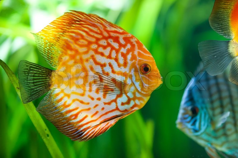 Symphysodon discus in an aquarium on a green background for Best place to buy discus fish