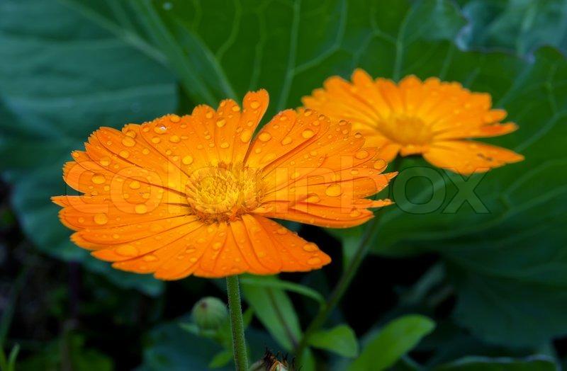b23c4b1d3 Raindrops on a beautiful marigold ... | Stock image | Colourbox