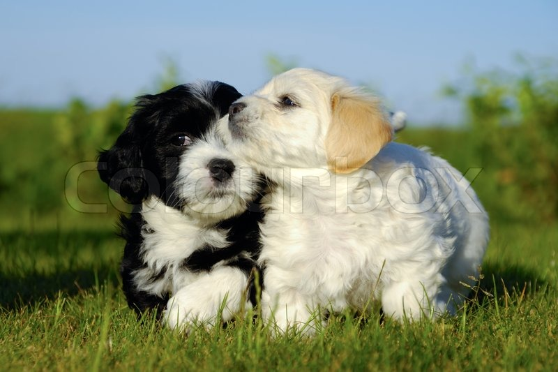 black and white puppy dogs stock photo colourbox