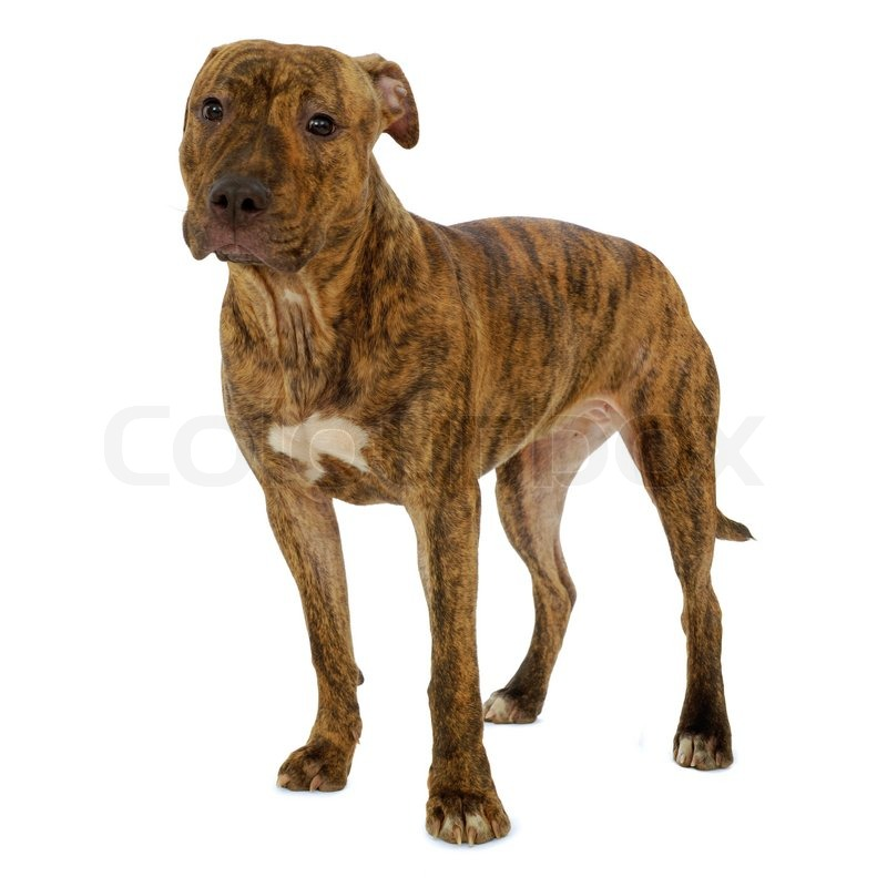 Staffordshire terrier dog standing on a clean white background ...