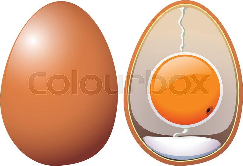 A Chicken Eggs Anatomy illustration | Stock Vector | Colourbox