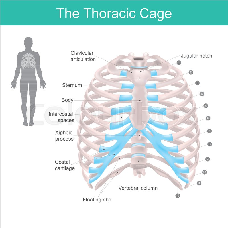 Thoracic Cage Is Made Up Of Bones And Cartilage Along It Consists