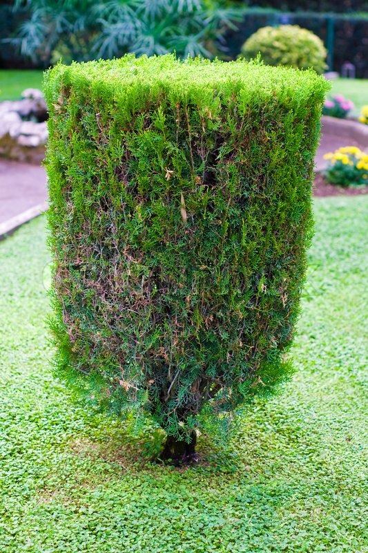 Topiary trimmed bush in the garden at summer, stock photo