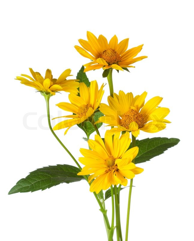 Bunch of yellow daisy flowers on white background stock photo bunch of yellow daisy flowers on white background stock photo colourbox mightylinksfo