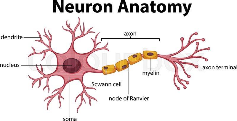 Diagram Of Neuron Anatomy Illustration Stock Vector Colourbox