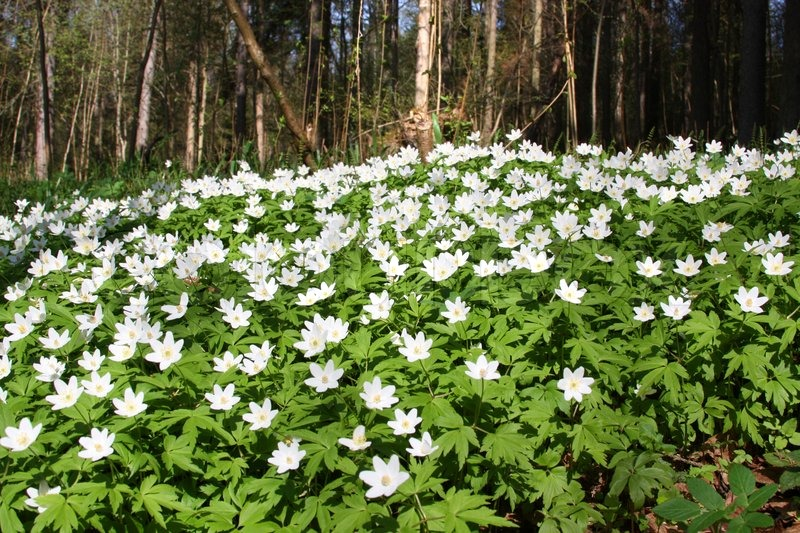 Stock image of 'Big patch of wood anemone with forest in the background Wild spring flowers'