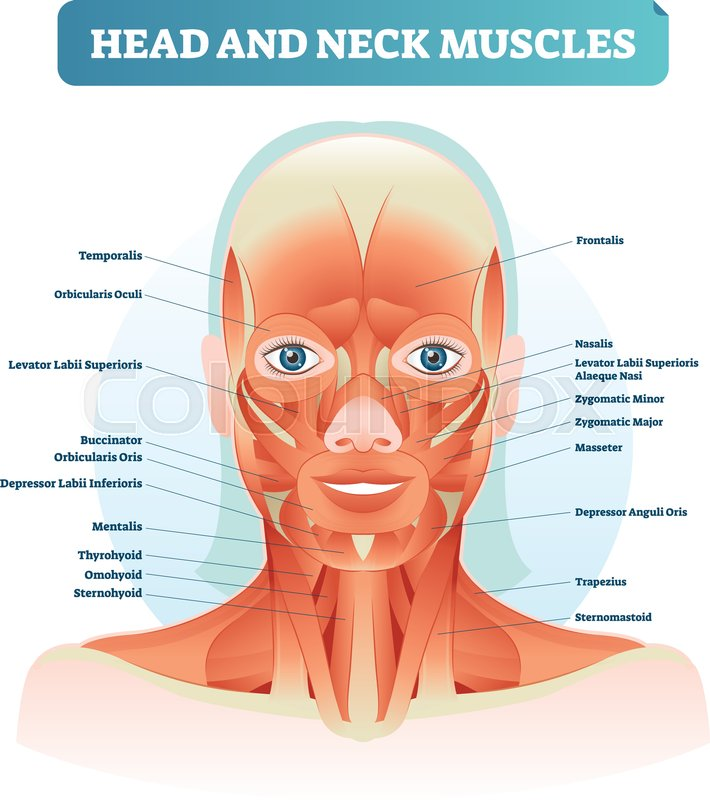head and neck muscles labeled anatomical diagram facial vector rh colourbox com Mouth Anatomy Diagram Mouth Anatomy Diagram