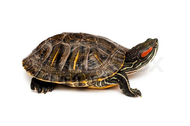 turtle white background -#main