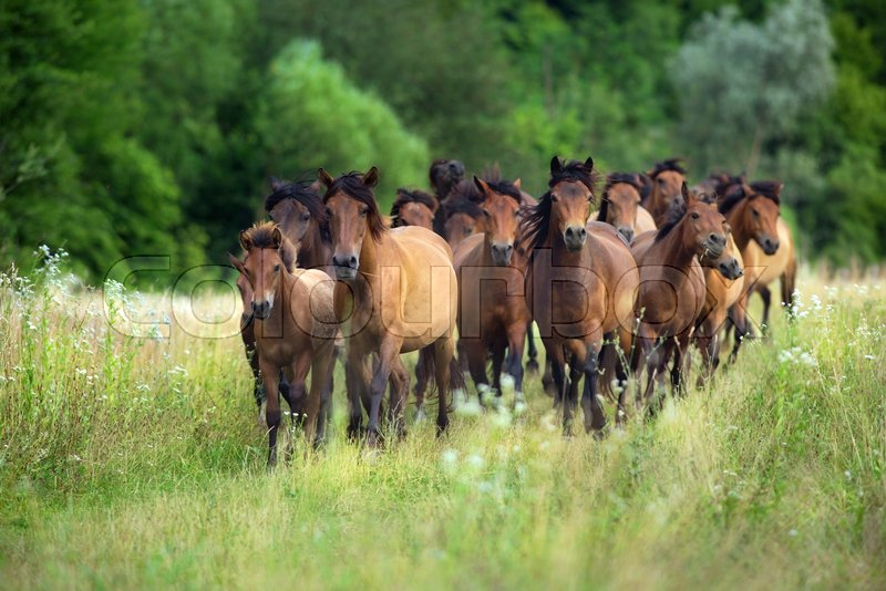 Horses Run Gallop In Summer Pasture Stock Image