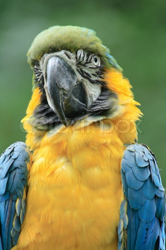 yellow and blue parrot on the green background stock photo colourbox