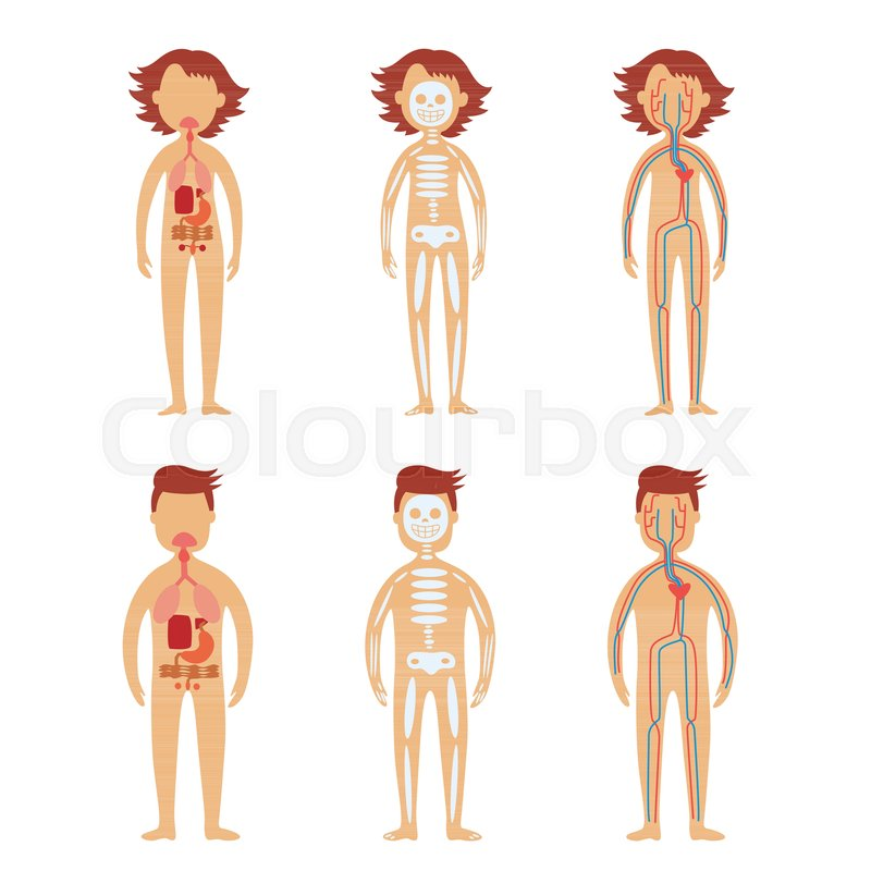 Human Internal Organs In Male And Stock Vector Colourbox