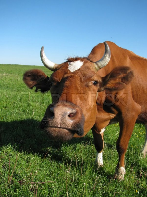Stock image of 'An inquisitive cow stares at the camera'