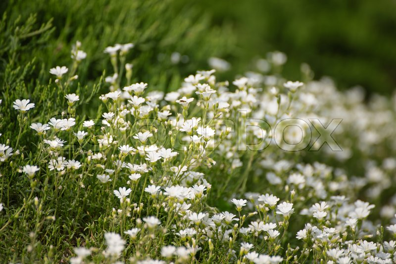 White Tender Spring Flowers Growing At Stock Photo Colourbox