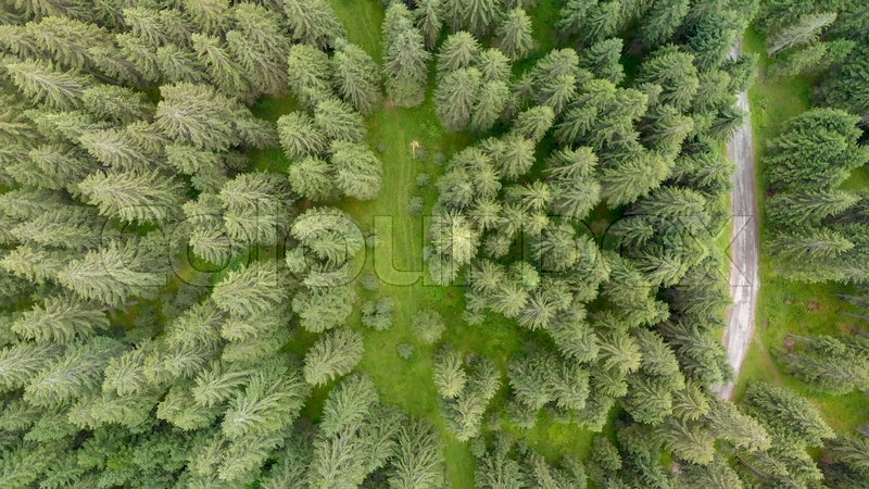 Fir forest, overhead view from drone, stock photo