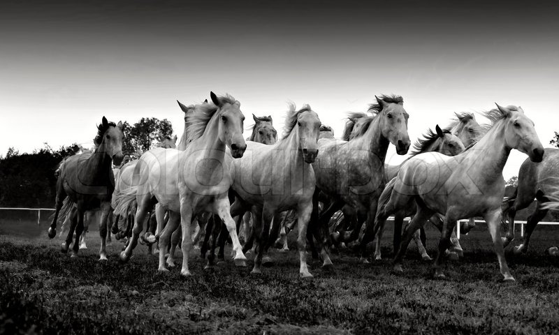 Herd of white horses running stock photo colourbox